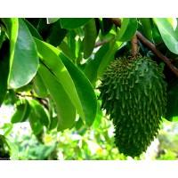 Annona Muricata, Guanábana, Graviola. Medicinal. 15 Semillas para Siembra.