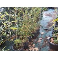 Bambu Negro en Maceta de 35 CM