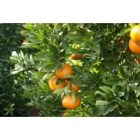 Mandarina Ortanique Mesa 10 Kg
