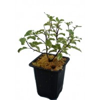 Pittosporum Tenuifolium.