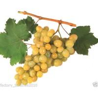 Planta Frutal Parra Moscatel. Uva Blanca de Delicado Aroma y Sabor Dulce. 150-160 Cm
