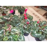Planta Cyclamen Persicum en Maceta de 14 Cm