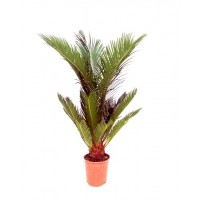 Planta Natural Palmera Cyca Revoluta en Maceta M17