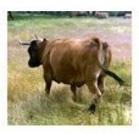 Vacas de Carne