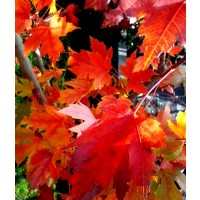 1 Arbol de Arce Rojo, Acer Rubrum. 100-120 Cm