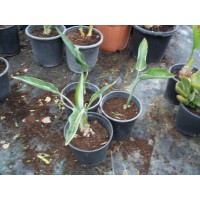 Planta Tropical de Sterlitzia Regina en Macet
