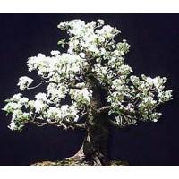 20 Semillas de Cerezo de Santa Lucia, Prunus Mahaleb