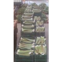 Hoja de Aloe Vera Variedad Barbadensis