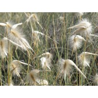 Planta de Lygeum Spartum - Albardín. Altura 2