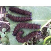 Trampas  de Feromonas   para Control de Insectos Plaga