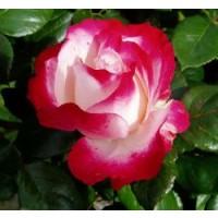 Rosa Nostalgie Rd