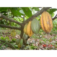 Cacao Ecuatoriano en Grano de Alta Calidad en Aroma y Sabor