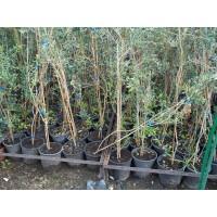 Olivo Arbequina en Maceta de 22 Cn