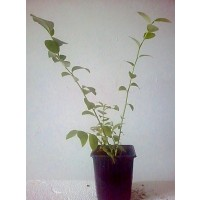 Planta de Arándano Var. Ozarkblue. Envase
