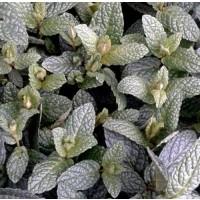 1 Planta Aromática Hierbabuena Menta Spicata.