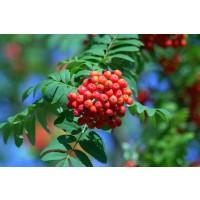 1 Planta Sorbus Domestica - Serbal Común. Alt