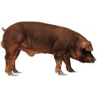 Carnes de Cerdo Duroc,y Cerdo Iberico