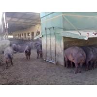 Cerdos Raza Duroc