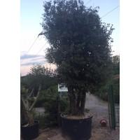 Encina  Quercus Ilex  3Pies