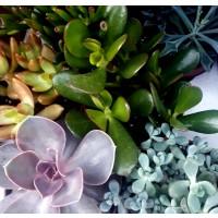 Planta Crasa Mix. Crassula