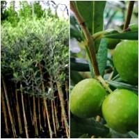 Planta de Olivo Redondilla. Resistente al Fri