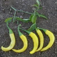 Pimiento Picante Cayena Dorada. 5 Semillas Ecologicas