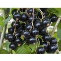 Planta de Grosella Negra.  Envase