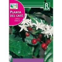 Planta del Cafe. Coffea Arabica. 4 Semillas.