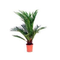 Planta Natural Palmera Cyca Revoluta en Maceta M12
