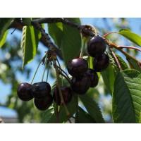 Semillas de Cerezo Negro.  Prunus Serotina. 2