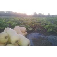 Calabaza Ecologica