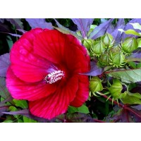 Planta de Rosa de Siria Roja, Hibisco Syriacu
