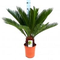 Planta Natural Palmera Cyca Revoluta. 70 Cm