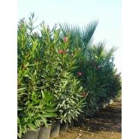 Plantas de Adelfa (Nerium Oleander) C-40