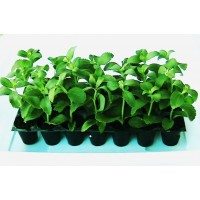 Plantas de Stevia Rebaudiana. Edulcorante Natural. Planta Dulce. 100 Plantas
