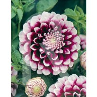 sobre Bulbo Dalia Decorativa Edinburgh-Violeta,puntas Blancas