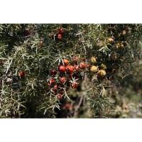 1 Planta de Juniperus Oxycedrus - Enebro de M