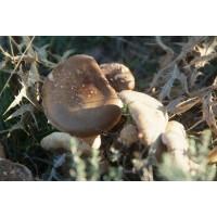 Micecardo Micelio de Seta de Cardo