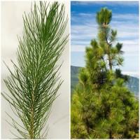 Pack de 9 Pinos de Canarias. Pinus Canariensi