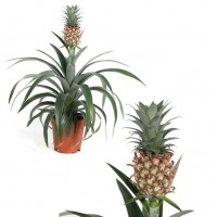 Planta Natural de Piña. Ananas Comosus. Altura 40 - 45 Cm