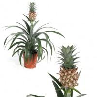 Planta Natural de Piña. Ananas Comosus. Altur