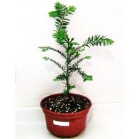 1 Planta de 30 CM. Secoya, Secuoia, Sequoia Sempervirens. 1 Planta en Alveolo Forestal.