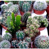 5 Cactus MIX. Plantas en Maceta de Cactus Var