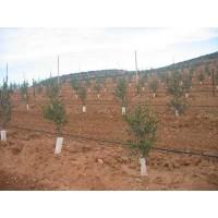 Olivicultura Superintensiva