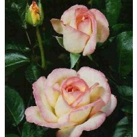 Rosa Princesa de Monaco Meimagarmic Ct