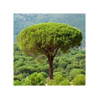Semillas Pinus Pinea 25 Ud (Pefc)