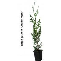 Thuja Plicata 'atrovirens'. (30 Cm)