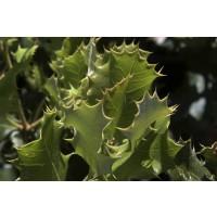 Encina Trufera (0,3-0,5 M) Encina (Quercus Ilex) Micorrizada, Productora de Trufa Negra (Tuber Melanosporum).1 Unidad