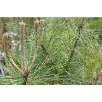 Pino Negro (Pinus Nigra)Micorrizado, Productor de Níscalos O Rovellones (Lactarius Deliciosus).(10-30 Cm). 10 Unidades