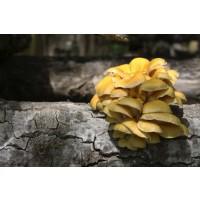 Tronco Productor de Seta de Ostra Amarilla (Pleurotus Citrinopileatus)